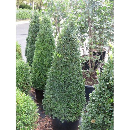 Buxus sempervirens pyramide (Buis)