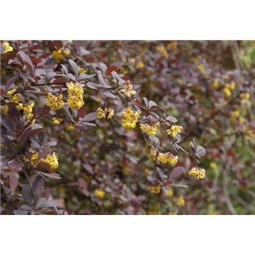 Berberis ottawensis Superba (épine vinette)