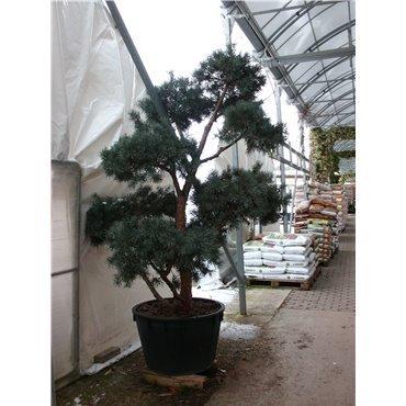 Pinus sylvestris 'Glauca' Nuages GCAK 1173