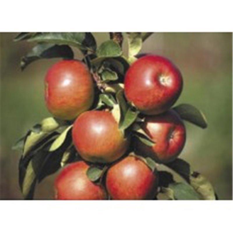 Apfel Galahad *