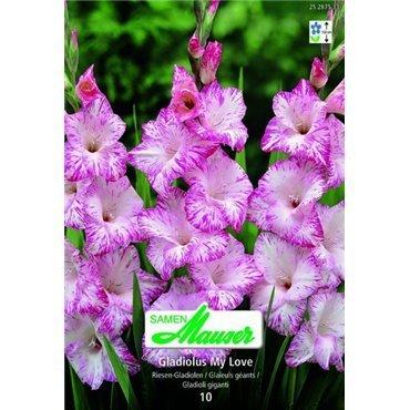 Glaïeuls à grosses fleurs 'My Love' (25287533)