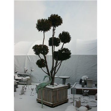 Taxus media 'Hicksii' Pompons GCAK1167