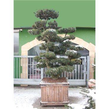 Pinus parviflora 'Glauca' Bonsaï GCAK469.310