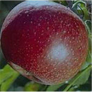 Pommier Red Spring *