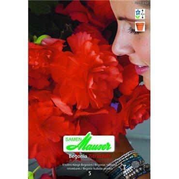 Begonia odorata (25173063)