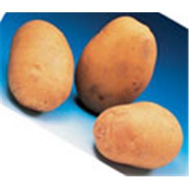 Saatkartoffeln Agata (10821216)(Samen)