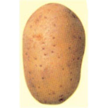 Saatkartoffeln Nicola (10826216)(Samen)