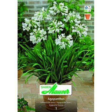 Agapanthe blanche (25301213)