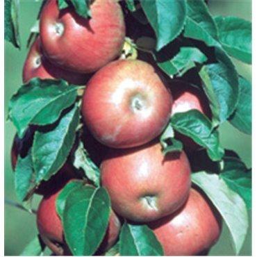 Apfel Ginover *