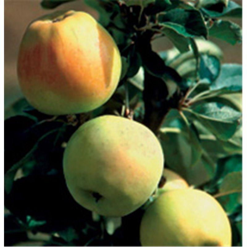 Apfel Pomgold