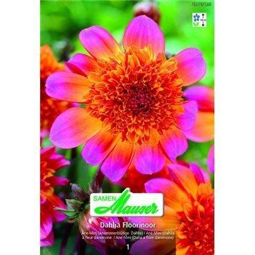 Dahlia à fleurs d'anémones Floorinoor (25228433)
