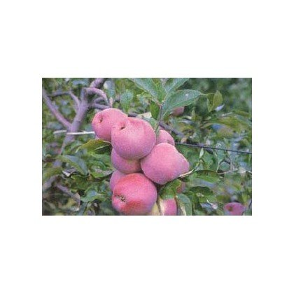 Apfel Florina  BIO