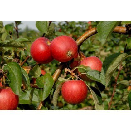 Apfel Resi BIO