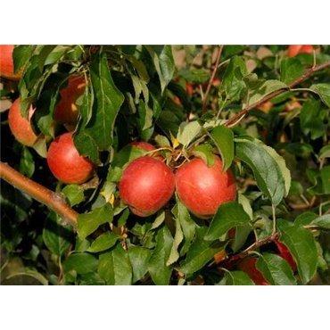 Apfel Rewena BIO