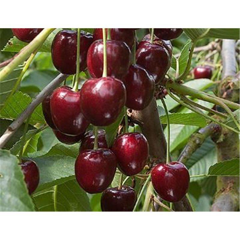Cerisier Kordia * BIO