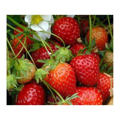 Erdbeere Mara des Bois BIO