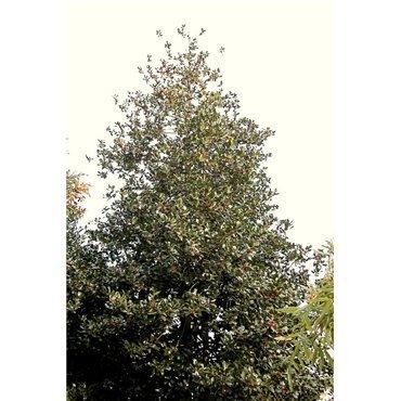 Ilex aquifolium J.C. van Tol (houx)