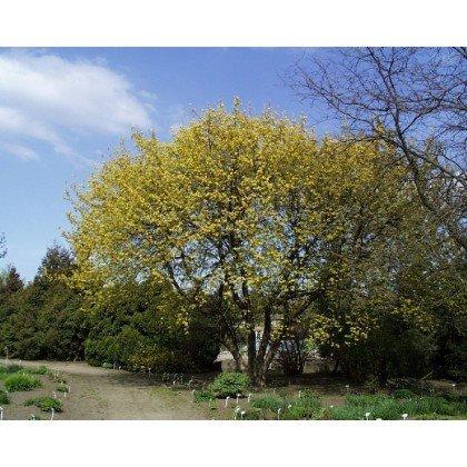 Acer negundo  Aurea ( Eschenahorn, Eschen-Ahorn )