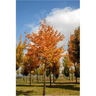 Acer rubrum ( Rot-Ahorn )