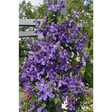 Clematis hybrides Jackmanii (clématite à grandes fleurs)