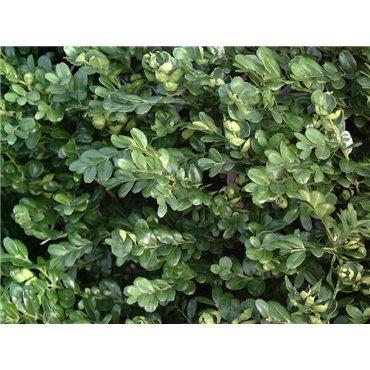 Buxus sempervirens Suffruticosa (Buis nain)