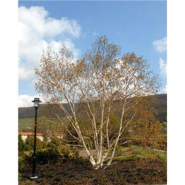 Betula utilis (bouleau de l'Himalaya)