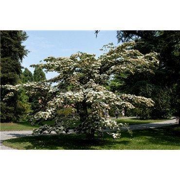 Cornus kousa  ( Japanischer Blumenhartriegel )