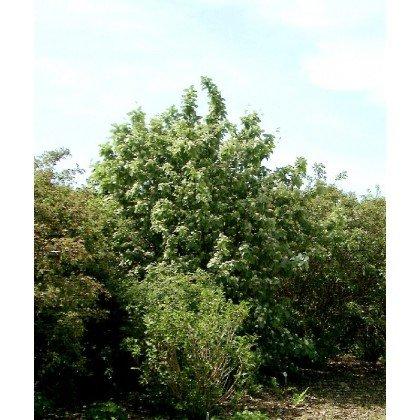 Sorbus aria ( Mehlbeere )
