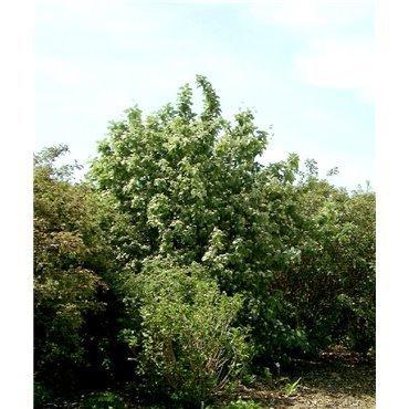 Sorbus aria (alisier blanc) *