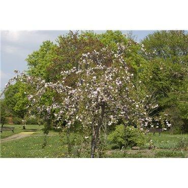 Prunus serrulata Kiku-shidare auf Stamm ( Zierkirsche, Strauchkirsche )
