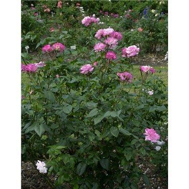 Rosier arbuste Händel (R)