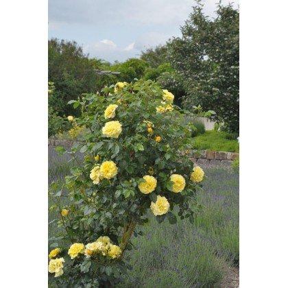Rosier arbuste Lichtkönigin Lucia (R)