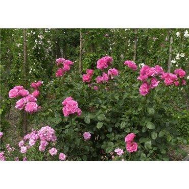 Rosier arbuste Romanze (R)