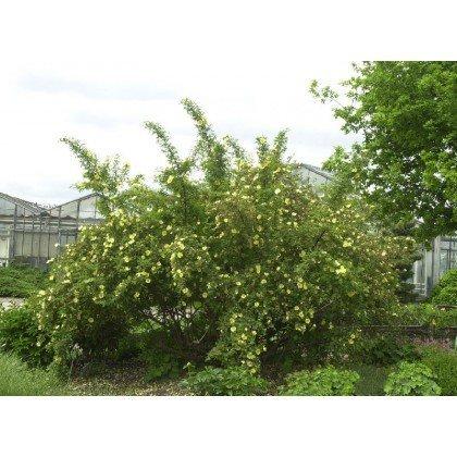 Rosier arbuste Rosa hugonis (R)