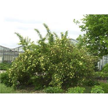 Strauchrose Rosa hugonis (R) ( Wildrose )