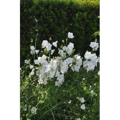 Campanula persicifolia Grandiflora Alba ( Pfirsichblättrige Glockenblume )