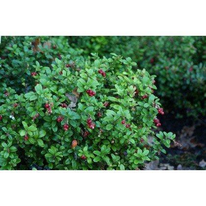Vaccinium vitis-idaea (airelle rouge)