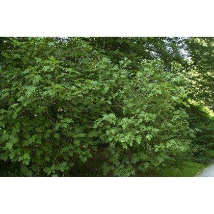 Ficus carica ( Feige )
