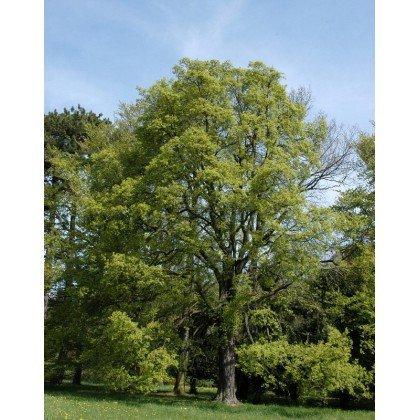 Acer campestre ( Feldahorn )