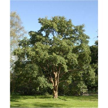 Acer griseum (érable)