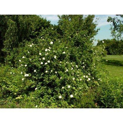Rosier arbuste Rosa canina (R) (églantier des chiens, cynorhodons)