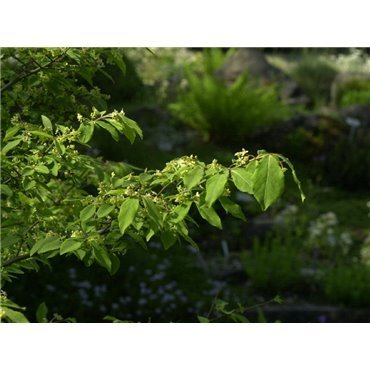Euonymus alatus Compactus ( niederiger Spindelstrauch )