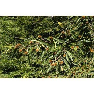 Fagus sylvatica Asplenifolia (foyard, hêtre)