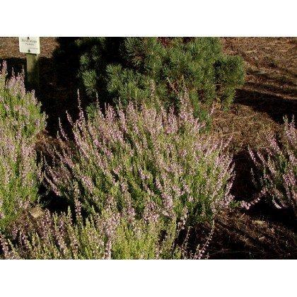 Calluna vulgaris Aurea  ( Besenheide, Heidekraut )
