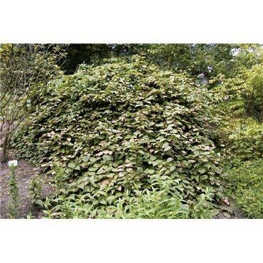 Actinidia kolomicta (kiwi d'ornement)