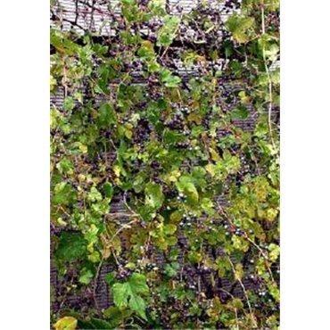Ampelopsis brevipedunculata Elegans (vigne vierge)