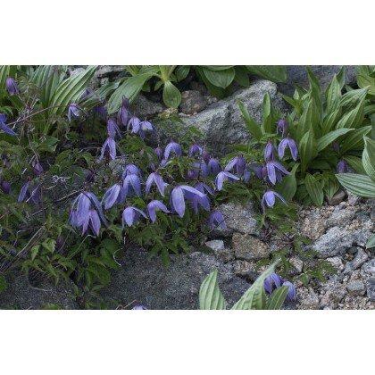 Clematis alpina (clématite des alpes)