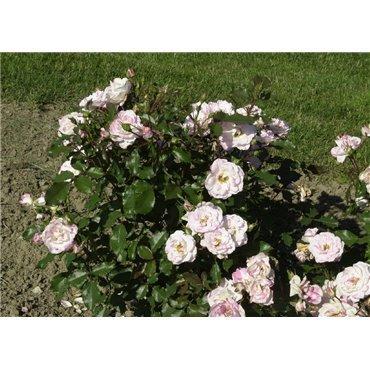 Rosier polyantha et floribunda Abigaile (R)
