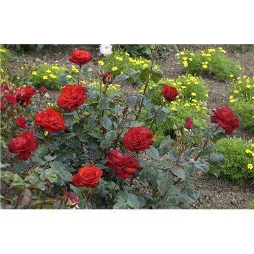 Rosier polyantha et floribunda Chorus (R)