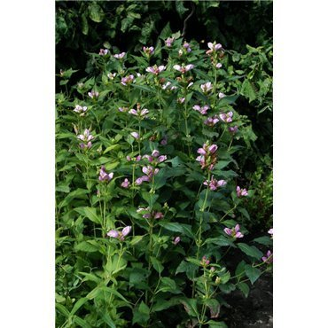 Chelone obliqua ( Schildblume, Schlangenkopf )